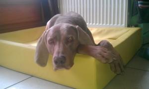 Sammy Produkttester Relaxoo Hundebett
