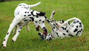 Spielverhalten: beide Hunde spielen miteinander und haben dabei das Meul geöffnet.