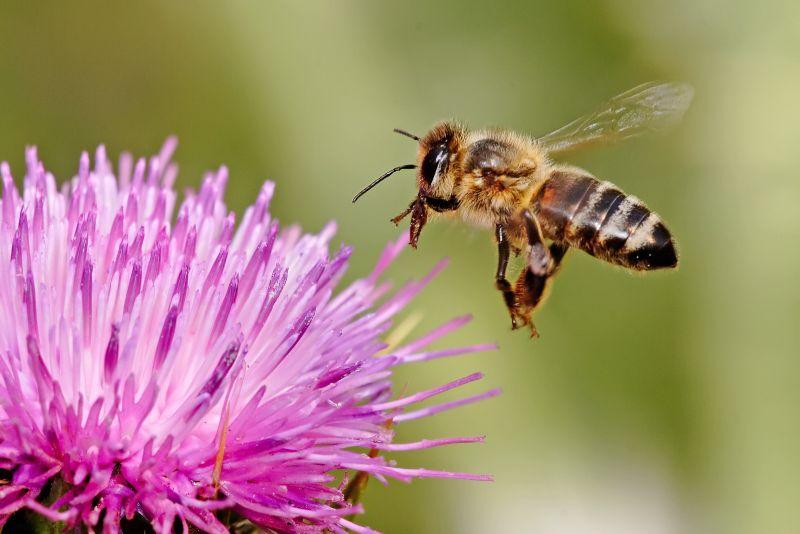 Honigbiene (Quelle:Wikipedia)