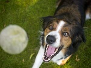 Hund fängt Ball