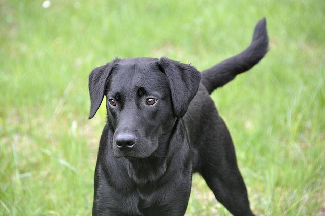 Schwarzer Hund mit glänzendem Fell