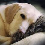 Schilddrüsenfunktionsstörungen beim Hund
